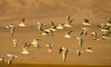 Slender-billed Gull (Larus genei) flock flying, Eilat, Israel  -  Otto Plantema/ Buiten-beeld