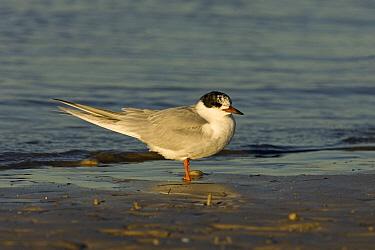 Forster's Tern (Sterna forsteri) on beach, Florida  -  Otto Plantema/ Buiten-beeld