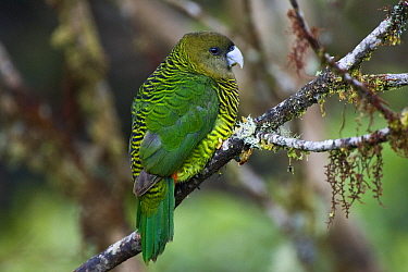 Painted Tiger-Parrot (Psittacella picta), Papua New Guinea  -  Otto Plantema/ Buiten-beeld