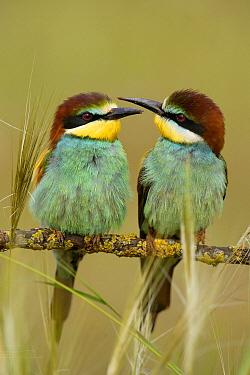 European Bee-eater (Merops apiaster) pair perching on branch, Donana National Park, Seville, Spain  -  Ramon Navarro/ NiS