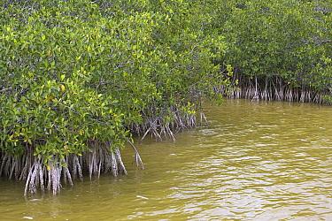 Red Mangrove (Rhizophora mangle) stand showing root system, Florida  -  Ramon Navarro/ NiS