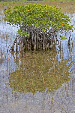 Red Mangrove (Rhizophora mangle) stand at low tide showing root system, Florida  -  Winfried Wisniewski