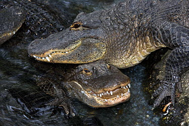 American Alligator (Alligator mississippiensis) pair, Florida  -  Winfried Wisniewski