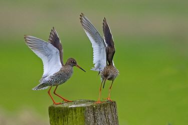 Common Redshank (Tringa totanus) pair displaying, Florida  -  Winfried Wisniewski