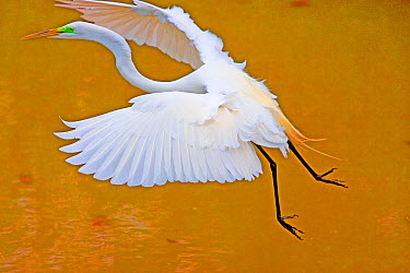 Great Egret (Casmerodius albus) landing on water, Florida  -  Winfried Wisniewski