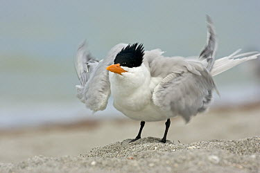 Royal Tern (Thalasseus maximus) displaying, Florida  -  Winfried Wisniewski
