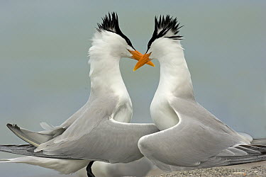 Royal Tern (Thalasseus maximus) pair courting, Florida  -  Winfried Wisniewski