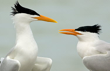 Royal Tern (Thalasseus maximus) pair, Florida  -  Winfried Wisniewski