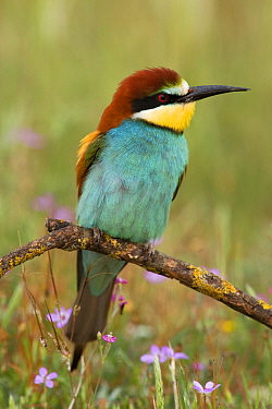 European Bee-eater (Merops apiaster) on branch, Donana National Park, Seville, Spain  -  Ramon Navarro/ NiS