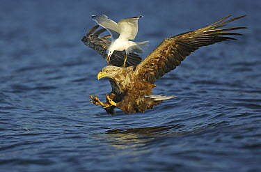 White-tailed Eagle (Haliaeetus albicilla) trying to catch a fish while a Mew Gull (Larus canus) tries to steal the prey, Norway  -  Winfried Wisniewski