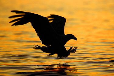 White-tailed Eagle (Haliaeetus albicilla) striking for fish at sunset, Norway  -  Winfried Wisniewski