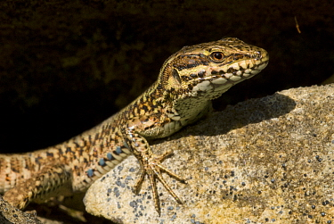 Common Wall Lizard (Podarcis muralis), Allier, France  -  Do van Dijk/ NiS