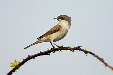 Lesser Whitethroat (Sylvia curruca) on a thorny branch, Texel, Netherlands  -  Do van Dijk/ NiS