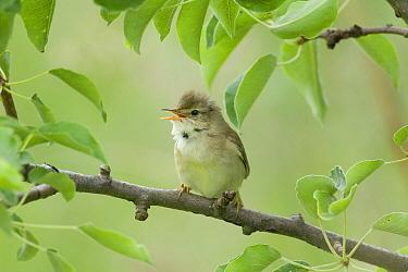 Marsh Warbler (Acrocephalus palustris) singing, Schagen, Netherlands  -  Do van Dijk/ NiS