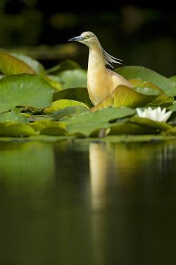Squacco Heron (Ardeola ralloides) standing amidst water lilies, Den Helder, Netherlands  -  Do van Dijk/ NiS