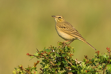 Tawny Pipit (Anthus campestris) on the lookout on the edge of its territory, Hungary  -  Do van Dijk/ NiS
