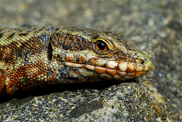 Common Wall Lizard (Podarcis muralis) portrait, Allier, France  -  Do van Dijk/ NiS