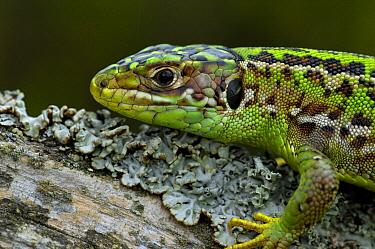 Western Green Lizard (Lacerta bilineata) female, Allier, France  -  Do van Dijk/ NiS