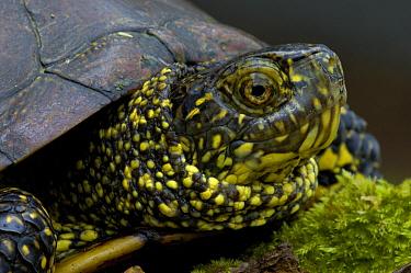 European Pond Turtle (Emys orbicularis) portrait, La Brenne, France  -  Do van Dijk/ NiS