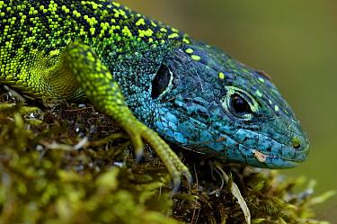 Western Green Lizard (Lacerta bilineata) male portrait, Allier, France  -  Do van Dijk/ NiS