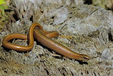 Slow Worm (Anguis fragilis) on wood, Allier, France  -  Do van Dijk/ NiS