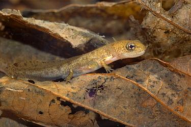 Fire Salamander (Salamandra salamandra) juvenile underwater, Allier, France  -  Do van Dijk/ NiS