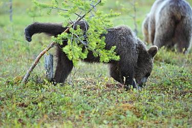 Brown Bear (Ursus arctos) juvenile urinating, Finland  -  Winfried Wisniewski