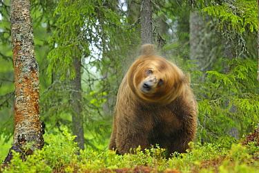 Brown Bear (Ursus arctos) shaking his wet fur, Finland  -  Winfried Wisniewski