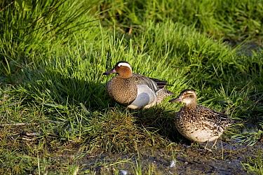 Garganey (Anas querquedula) male and female sitting in the grassland, Netherlands  -  Adri Hoogendijk/ Buiten-beeld