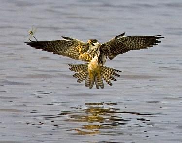 Eurasian Hobby (Falco subbuteo) hunting a damselfly, Netherlands  -  Otto Plantema/ Buiten-beeld