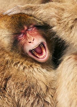 Japanese Macaque (Macaca fuscata) yawning, Jigokudani, Japan  -  Jasper Doest