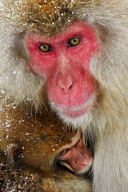 Japanese Macaque (Macaca fuscata) with baby, Jigokudani, Japan  -  Jasper Doest