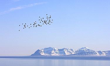 Little Auk (Alle alle) flock flying over the fjord, Svalbard, Norway  -  Jasper Doest