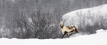 Caribou (Rangifer tarandus) in snowy landscape, Abisko, Sweden  -  Jasper Doest