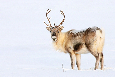 Caribou (Rangifer tarandus) in the snow, Abisko, Sweden  -  Jasper Doest