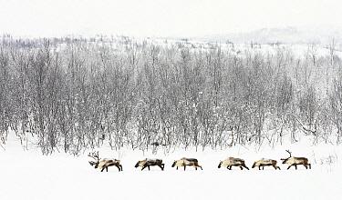 Caribou (Rangifer tarandus) herd in snowy landscape, Abisko, Sweden  -  Jasper Doest