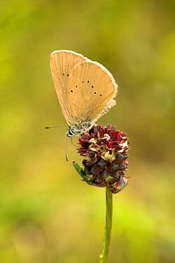 Dusky Large Blue Butterfly (Maculinea nausithous), Netherlands  -  Rene Krekels/ NIS