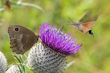 Hummingbird Hawk-moth (Macroglossum stellatarum) getting nectar from thistle, France  -  Rene Krekels/ NIS