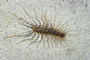 House Centipede (Scutigera coleoptrata) on basement wall, France  -  Rene Krekels/ NIS