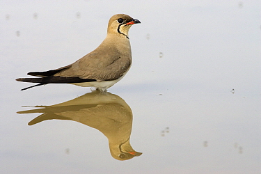 Collared Pratincole (Glareola pratincola) standing in water, Donana National Park, Spain  -  Ramon Navarro/ NiS