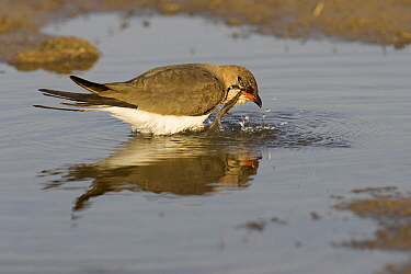Collared Pratincole (Glareola pratincola) foraging, Donana National Park, Spain  -  Ramon Navarro/ NiS