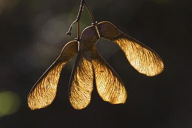 Sycamore (Acer pseudoplatanus) seeds, Netherlands  -  Adri Hoogendijk/ Buiten-beeld