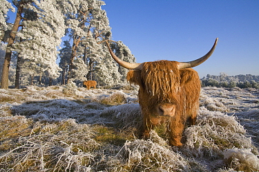 Domestic Cattle (Bos taurus), Highland breed, in open forest landscape covered with frost, Netherlands  -  Adri Hoogendijk/ Buiten-beeld