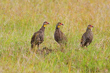 Yellow-necked Spurfowl (Pternistis leucoscepus) trio on the lookout, Kenya  -  Otto Plantema/ Buiten-beeld