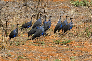 Vulturine Guineafowl (Acryllium vulturinum) group, Kenya  -  Otto Plantema/ Buiten-beeld