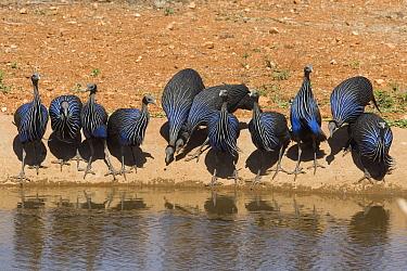 Vulturine Guineafowl (Acryllium vulturinum) group drinking, Kenya  -  Otto Plantema/ Buiten-beeld