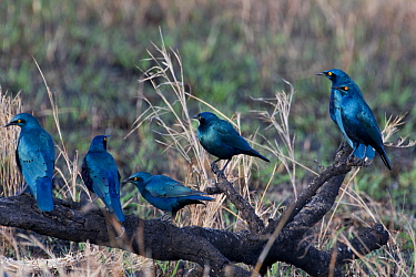 Greater Blue-eared Glossy-Starling (Lamprotornis chalybaeus) group, Sweetwaters Game Reserve, Kenya  -  Otto Plantema/ Buiten-beeld