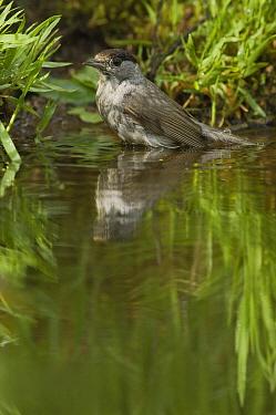 Blackcap (Sylvia atricapilla) male bathing in pond, Eesveen, Netherlands  -  Jan van Arkel/ NiS