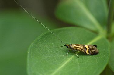 Longhorn Moth (Nemophora degeerella) on Honeysuckle (Lonicera sp) leaf, Eesveen, Netherlands  -  Jan van Arkel/ NiS