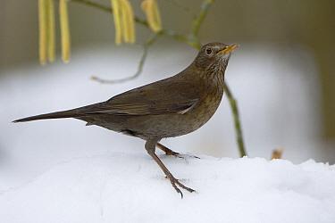 Eurasian Blackbird (Turdus merula) female in the snow, Neuhaus im Solling, Germany  -  Willi Rolfes/ NIS